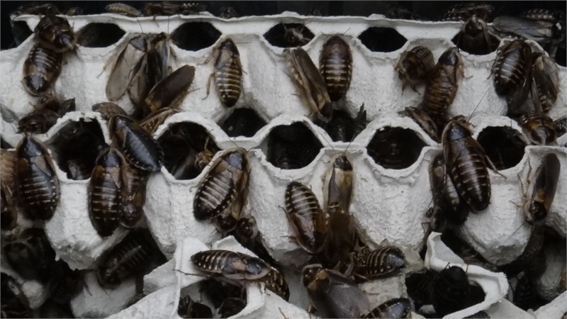 Šváb argentinský kolonie dospělých švábů